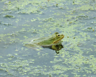 Brenne lake with green frog