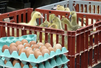 Falaise chicks in a basket